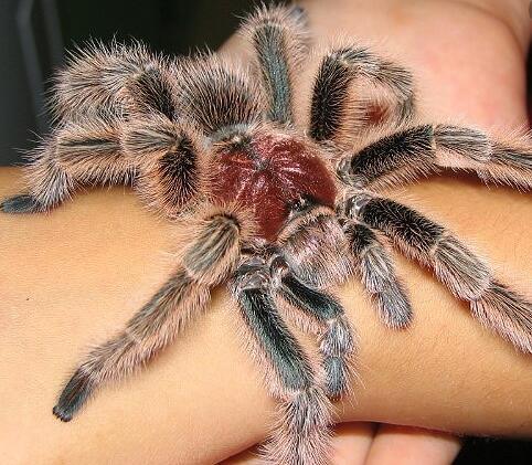 宠物蜘蛛养殖