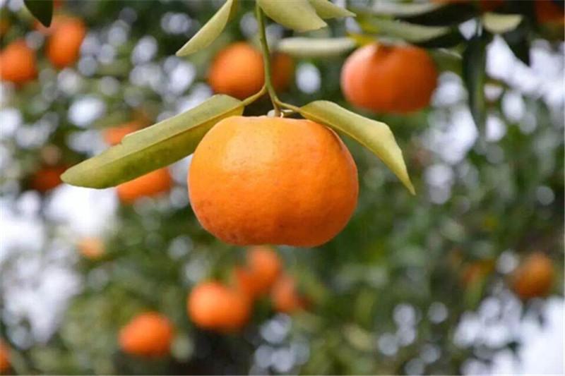 椪柑种植分布
