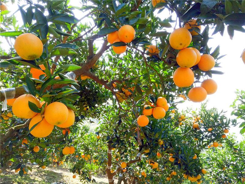 脐橙挂树贮藏