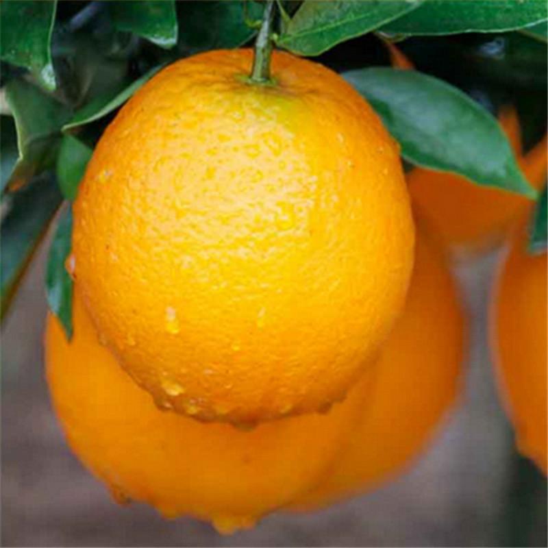 宜昌脐橙种植