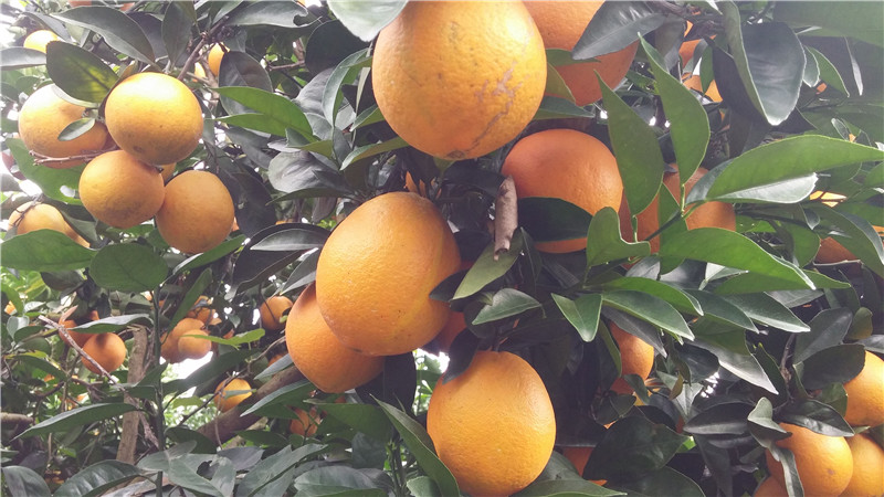 脐橙展示图