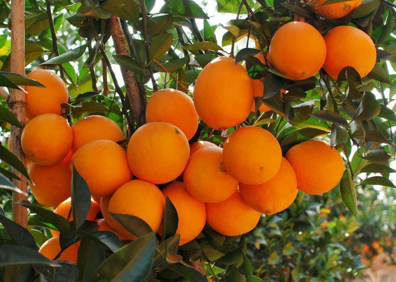 橙子批发厂家