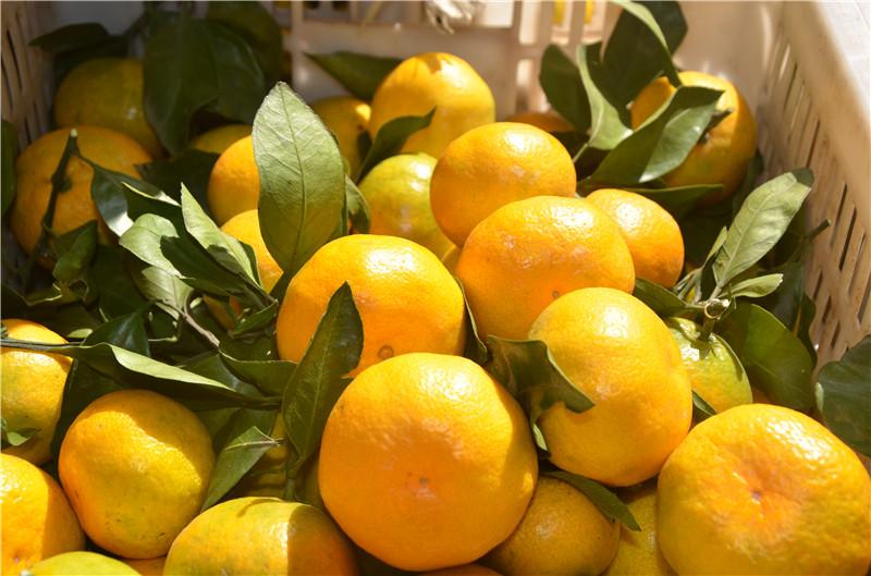 现在是蜜桔上市的季节,但是一定要掌握好量,不要过多食用