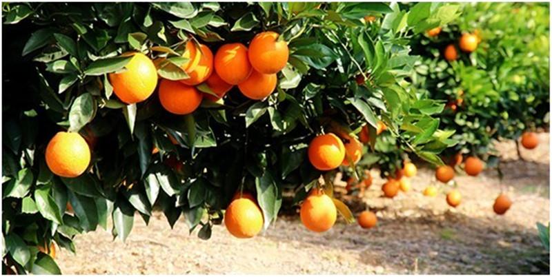作为一种比较常见的水果,在吃橙子的时候,这些你要知道