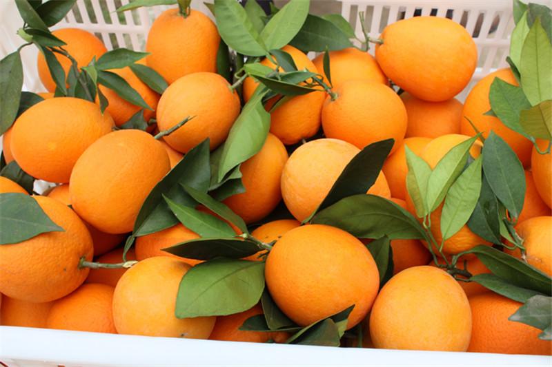 脐橙代办厂家