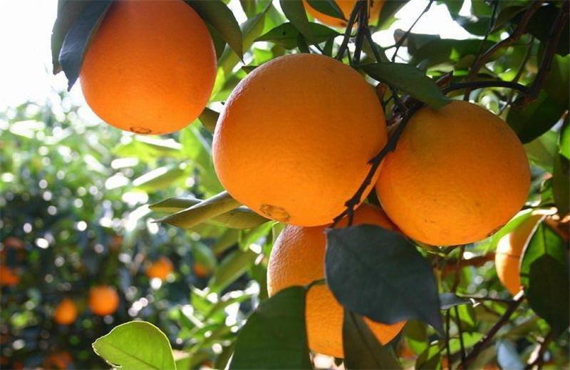 脐橙代办销售价格