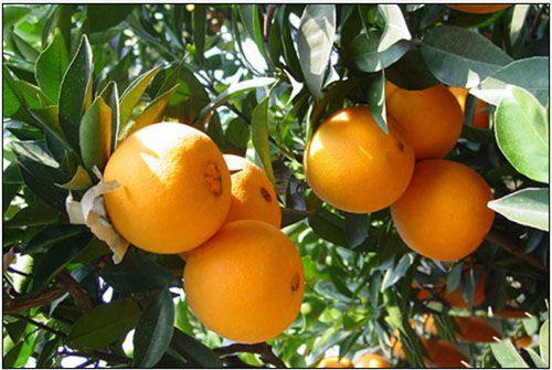 脐橙一件代发厂家
