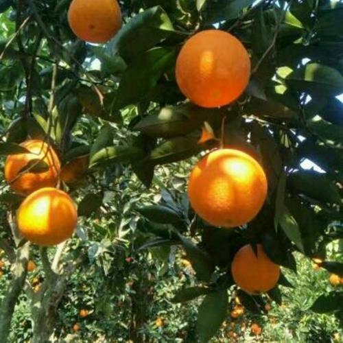 脐橙销售_宜昌脐橙代办厂家