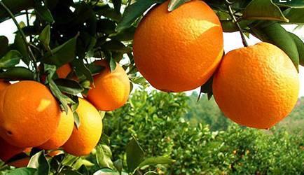 金品脐橙代办批发销售