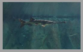白鲟灭绝是累积过程,长江生态变化也是长期积累的过程
