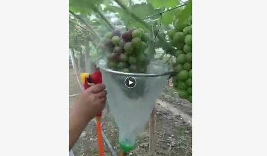 葡萄变色依赖喷药催熟? ..:安全性没问题