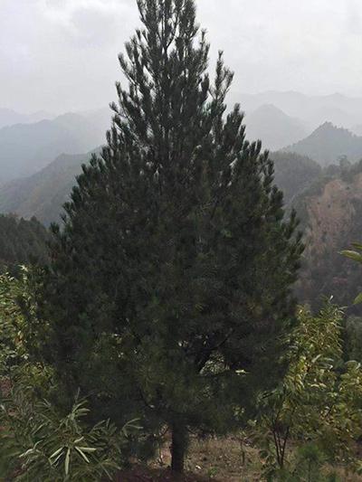 白皮松种植-5米
