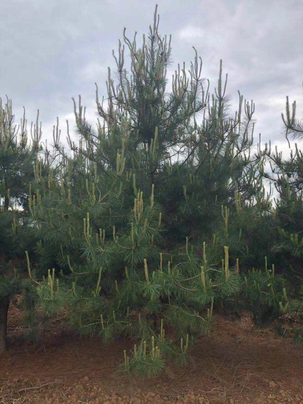 油松种植产业案例