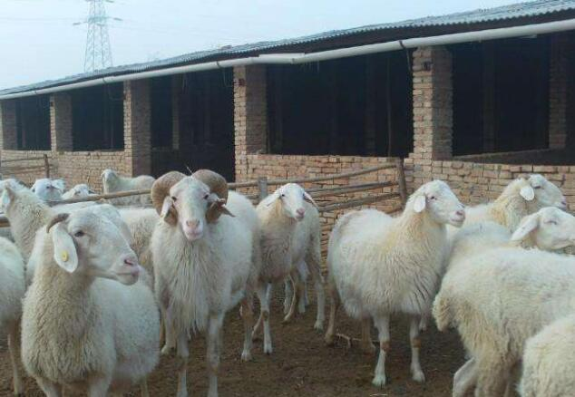 河南羊饲料厂家告诉你外购羊想要降低运输应激应该怎么做