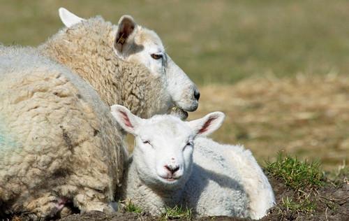 在饲养羊的时候吃猪饲料究竟可不可以呢