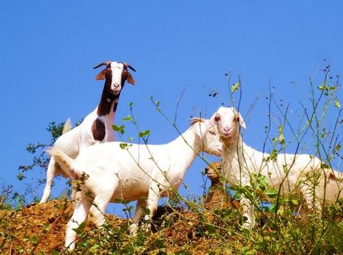 在饲养羊的时候怎么样才能比较的赚钱呢