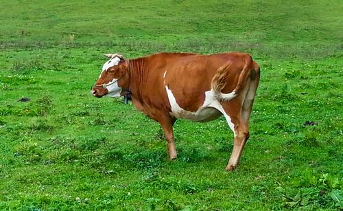 牛饲料在喂养的时候需要补充哪些维生素呢