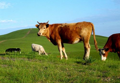 关于牛饲料的质量要怎么样去鉴定呢