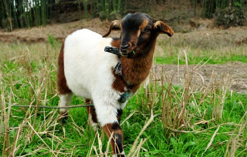 羊在食用预混料的时候有效果吗