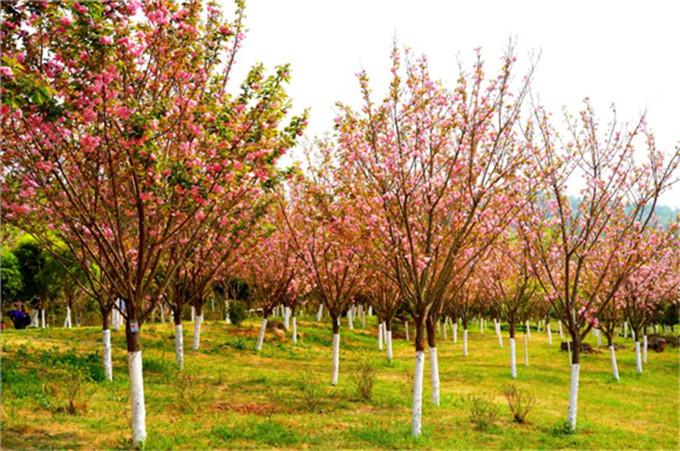 太乙仙山植物园-樱花树
