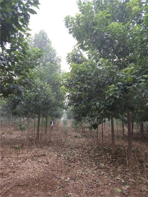 楸樹种植基地