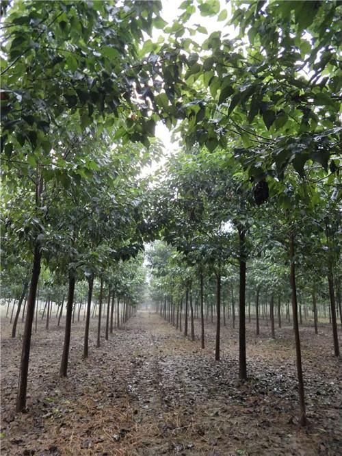 河南楸树种植基地