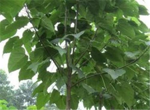 河南梓树种植基地