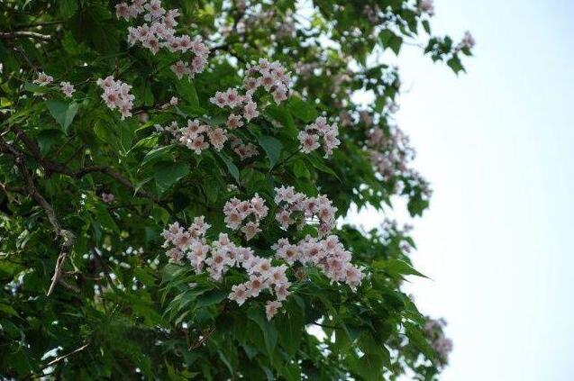 楸树的珍贵价值