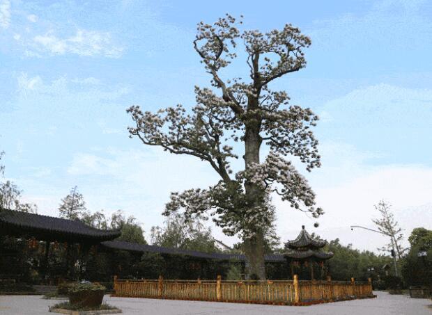 梓樹的形态特征