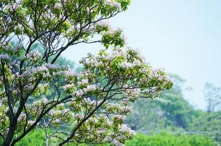 楸树-洛阳金楸苗业