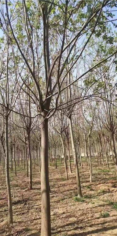 河南梓樹种植基地