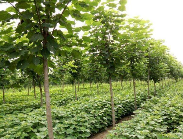 河南梓樹種植