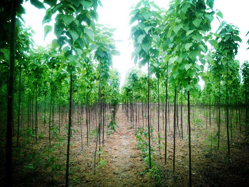 楸树的种植对土壤有什么特别的要求吗?