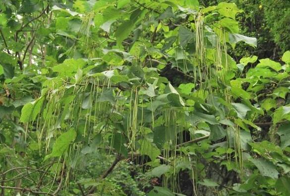 河南梓樹基地:梓樹和梧桐树有什么区别