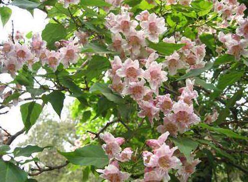 速生楸树开花图
