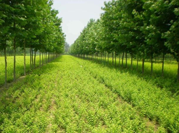 苗木种植批发