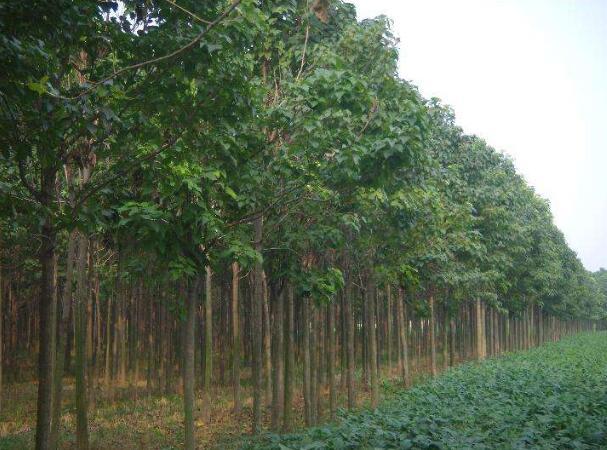 河南楸樹种植基地