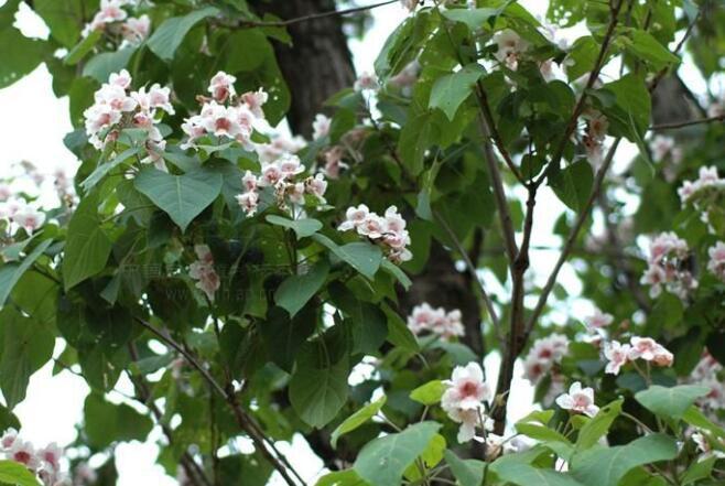 楸樹基地栽植的過於密也會造成長勢不好
