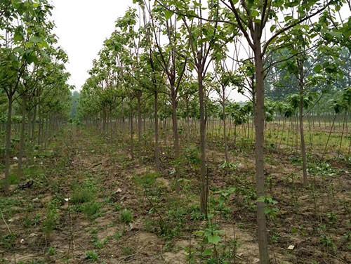 梓树还有没有市场?梓树在园林方面的应用有哪些?