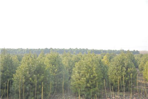 河南白皮松种植