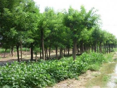 河南绿化苗木