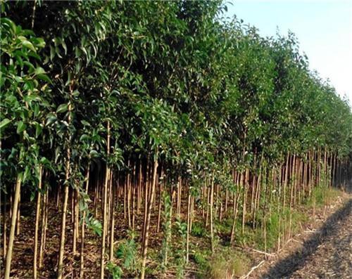 河南绿化苗木种植基地