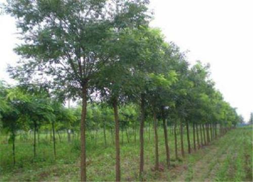 国槐绿化苗木批发基地