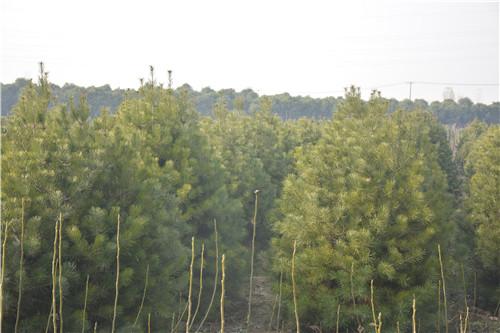 河南白皮松种植基地