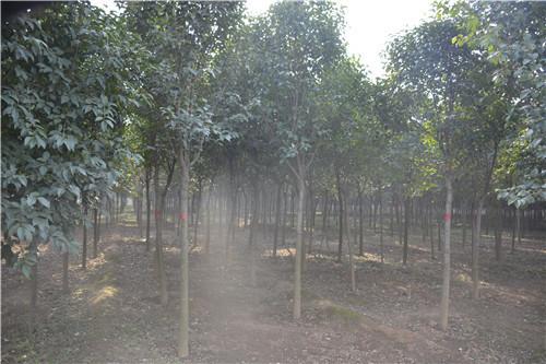 大叶女贞如何修剪才能更好繁殖生长,这4个方法让树木更强壮!