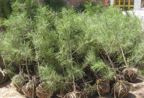 秋季苗木在进行栽植的时候要注意哪些方法呢