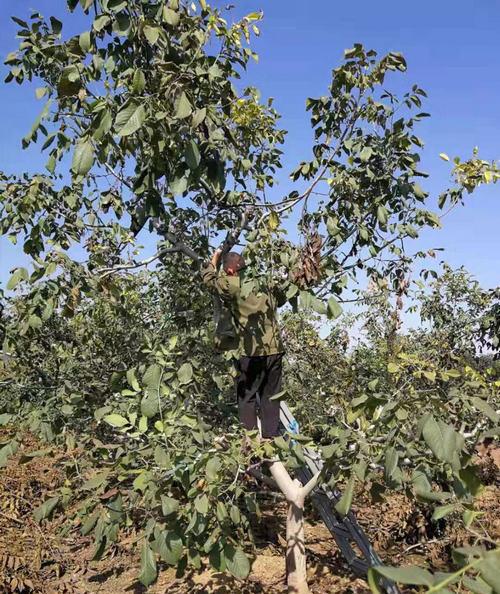 核桃树在进行修剪的时候要注意哪些问题呢