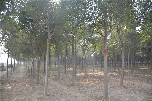 大叶女贞苗木繁殖的四个基本步骤需要详细了解,这样才能提高苗木成活率!