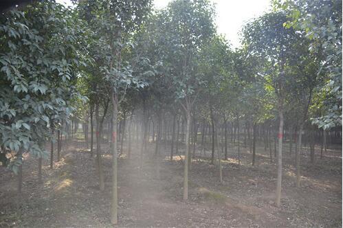 河南大叶女贞绿化苗木出现干粗冠小到底是因为什么因素引起的?