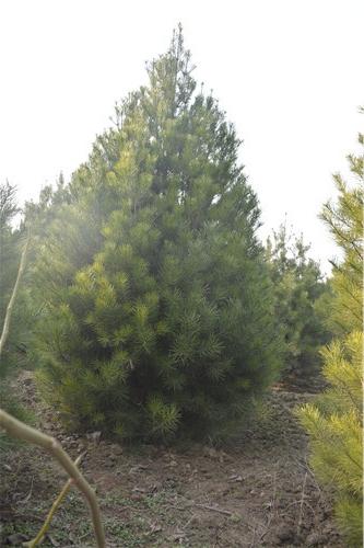 还不知道核桃树如何修剪的看过来: